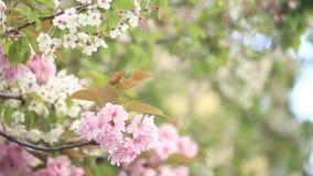 Άνθη κερασιών άνοιξης απόθεμα βίντεο