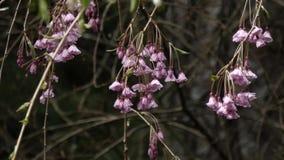 Άνθη κερασιών άνοιξη που κρεμούν στους κλάδους μετά από τη βροχή απόθεμα βίντεο