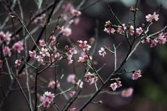 Άνθη κερασιών άνοιξη στην αναμνηστική αίθουσα Chiang Kai Shek στοκ φωτογραφίες