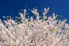 Άνθη κερασιών άνοιξη Στοκ Φωτογραφία