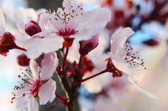 Άνθη κερασιών άνοιξη Στοκ Εικόνες