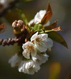 Άνθη κερασιών άνοιξη Στοκ φωτογραφία με δικαίωμα ελεύθερης χρήσης
