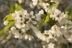 Άνθη κερασιών Άσπρα λουλούδια του οπωρωφόρου δέντρου στοκ εικόνες