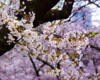 Άνθη κερασιών (δέντρα Sakura), υψηλό πάρκο Τορόντο Στοκ Εικόνες