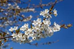 Άνθη κερασιών ενάντια σε έναν μπλε ουρανό στοκ φωτογραφία με δικαίωμα ελεύθερης χρήσης