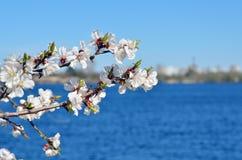 Άνθη κερασιών ενάντια στο μπλε ουρανό Στοκ Εικόνα