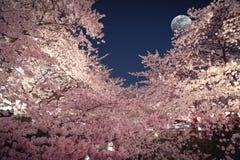 Άνθη κερασιών κάτω από το σεληνόφωτο Στοκ Εικόνα