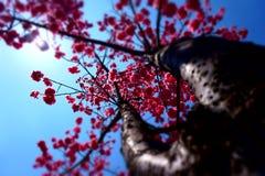 Άνθη κερασιών και ο μπλε ουρανός Στοκ Εικόνα