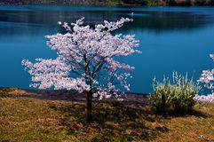 Άνθη κερασιών κατά μήκος της λίμνης φραγμάτων/του ιαπωνικού ελατηρίου Στοκ Εικόνες