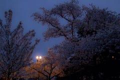 Άνθη κερασιών ξημερωμάτων Στοκ εικόνα με δικαίωμα ελεύθερης χρήσης