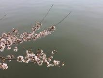 Άνθη κερασιών ορμώντας πέρα από το νερό Στοκ Εικόνες