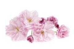 Άνθη κερασιών που απομονώνονται στοκ φωτογραφία