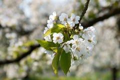 Άνθη κερασιών σε Sping στοκ φωτογραφία με δικαίωμα ελεύθερης χρήσης