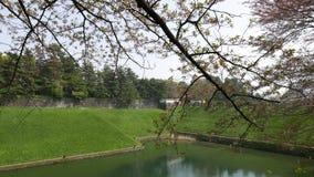 Άνθη κερασιών στην άνθιση, hanami στο πάρκο chidorigafuchi απόθεμα βίντεο