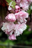 Άνθη κερασιών στην άνοιξη Στοκ εικόνες με δικαίωμα ελεύθερης χρήσης