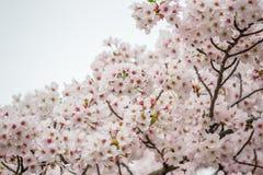 Άνθη κερασιών στην τάφρο Chidorigafuchi, Chiyoda, Τόκιο, Ιαπωνία την άνοιξη Στοκ φωτογραφίες με δικαίωμα ελεύθερης χρήσης