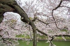 Άνθη κερασιών στην τάφρο Chidorigafuchi, Chiyoda, Τόκιο, Ιαπωνία την άνοιξη Στοκ Εικόνα