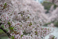 Άνθη κερασιών στην τάφρο Chidorigafuchi, Chiyoda, Τόκιο, Ιαπωνία την άνοιξη Στοκ Φωτογραφίες