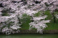 Άνθη κερασιών στην τάφρο Chidorigafuchi, Chiyoda, Τόκιο, Ιαπωνία την άνοιξη Στοκ φωτογραφία με δικαίωμα ελεύθερης χρήσης