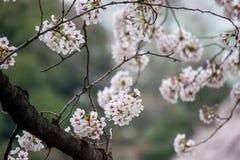 Άνθη κερασιών στην τάφρο Chidorigafuchi, Chiyoda, Τόκιο, Ιαπωνία την άνοιξη Στοκ Εικόνες