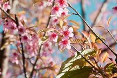 Άνθη κερασιών στη φύση Στοκ φωτογραφία με δικαίωμα ελεύθερης χρήσης