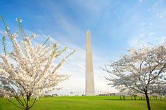 Άνθη κερασιών στο μνημείο της Ουάσιγκτον στο συνεχές ρεύμα στοκ φωτογραφίες με δικαίωμα ελεύθερης χρήσης