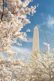 Άνθη κερασιών στο μνημείο της Ουάσιγκτον στο συνεχές ρεύμα στοκ φωτογραφία με δικαίωμα ελεύθερης χρήσης