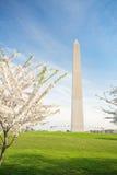 Άνθη κερασιών στο μνημείο της Ουάσιγκτον στο συνεχές ρεύμα στοκ εικόνα με δικαίωμα ελεύθερης χρήσης