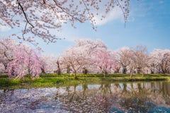 Άνθη κερασιών την άνοιξη σε Hirosaki Castle, νομαρχιακό διαμέρισμα Aomori, J Στοκ εικόνες με δικαίωμα ελεύθερης χρήσης