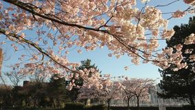 Άνθη κερασιών του Βανκούβερ απόθεμα βίντεο