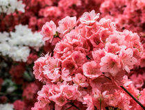 Άνθη κερασιών του Central Park πόλεων της Νέας Υόρκης στοκ φωτογραφίες