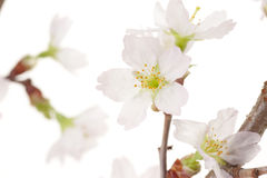 Άνθη κερασιών Στοκ Εικόνα