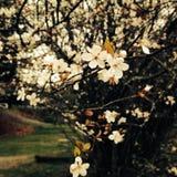 Άνθη κερασιών Στοκ φωτογραφία με δικαίωμα ελεύθερης χρήσης