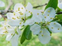Άνθη κερασιών Στοκ εικόνες με δικαίωμα ελεύθερης χρήσης