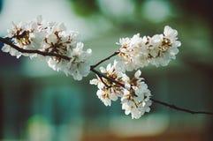Άνθη κερασιών στοκ εικόνα με δικαίωμα ελεύθερης χρήσης