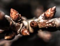 Άνθη κερασιών Στοκ φωτογραφίες με δικαίωμα ελεύθερης χρήσης