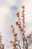 Άνθη κερασιών στοκ φωτογραφίες