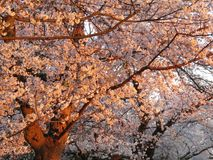 Άνθη κερασιών Kenwood στο ηλιοβασίλεμα στοκ φωτογραφίες με δικαίωμα ελεύθερης χρήσης