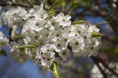 Άνθη κερασιών Sakura Στοκ Εικόνες