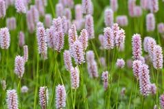Άνθη κοινό Bistort, officinalis Bistorta, Βαυαρία, Γερμανία, Ευρώπη στοκ φωτογραφία