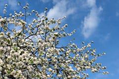 Άνθη κλάδων δέντρων της Apple Στοκ φωτογραφία με δικαίωμα ελεύθερης χρήσης