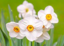 Άνθη λουλουδιών Daffodil Στοκ φωτογραφία με δικαίωμα ελεύθερης χρήσης