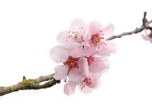 άνθη μήλων Στοκ εικόνες με δικαίωμα ελεύθερης χρήσης