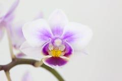 Άνθη μιας ορχιδέας Στοκ Φωτογραφίες