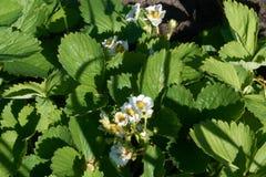 Άνθη μούρων Στοκ φωτογραφίες με δικαίωμα ελεύθερης χρήσης