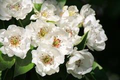 Άνθη λουλουδιών της Apple στον κήπο Στοκ εικόνες με δικαίωμα ελεύθερης χρήσης