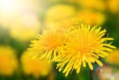 Άνθη πικραλίδων στο θερμό φως του ήλιου Στοκ εικόνα με δικαίωμα ελεύθερης χρήσης