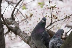 Άνθη πουλιών και κερασιών ζεύγους Στοκ Εικόνα