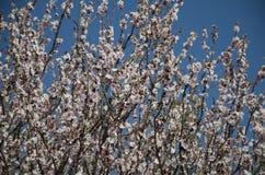 άνθη ροδάκινων Στοκ Φωτογραφία