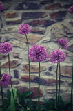 Άνθη σκόρδου μπροστά από έναν παλαιό τοίχο Στοκ Εικόνες